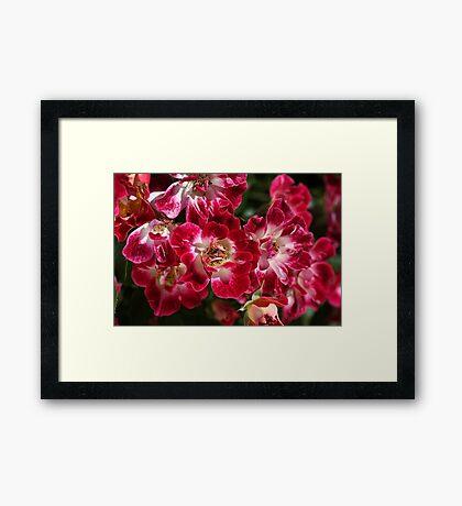 Rose Cluster Framed Print