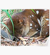 CRITTERS ~ Tiger Quoll 2 by tasmanianartist Poster