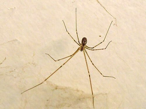 Daddy Longlegs by charmaine