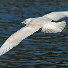 Iceland Gull In Flight by Jamie  Green