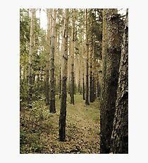 Vintage Photo of Pine Forest 5 Photographic Print