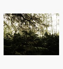 Vintage Photo of Pine Forest 6 Photographic Print