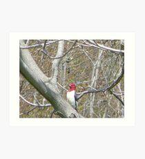 Redheaded Woodpecker Art Print