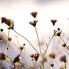 daisies at dusk by sapaho