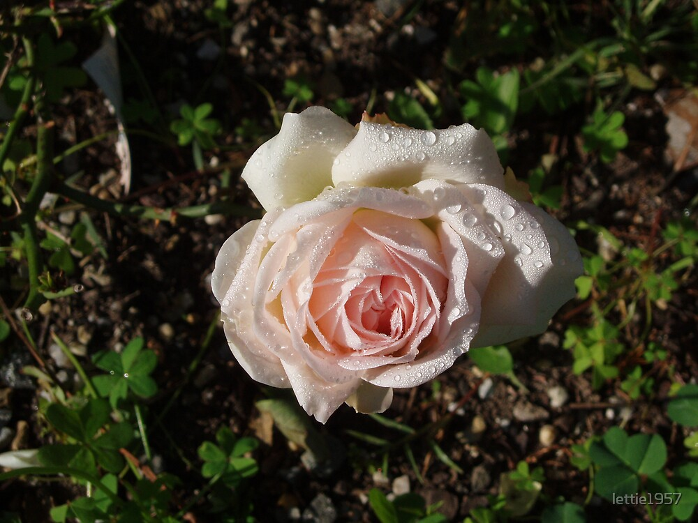 Rose with Dew Drops  by lettie1957