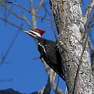 Pileated Woodpecker in Tree by TJ Baccari Photography