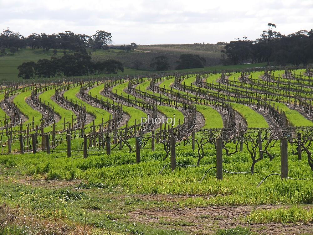 vineyard by photoj