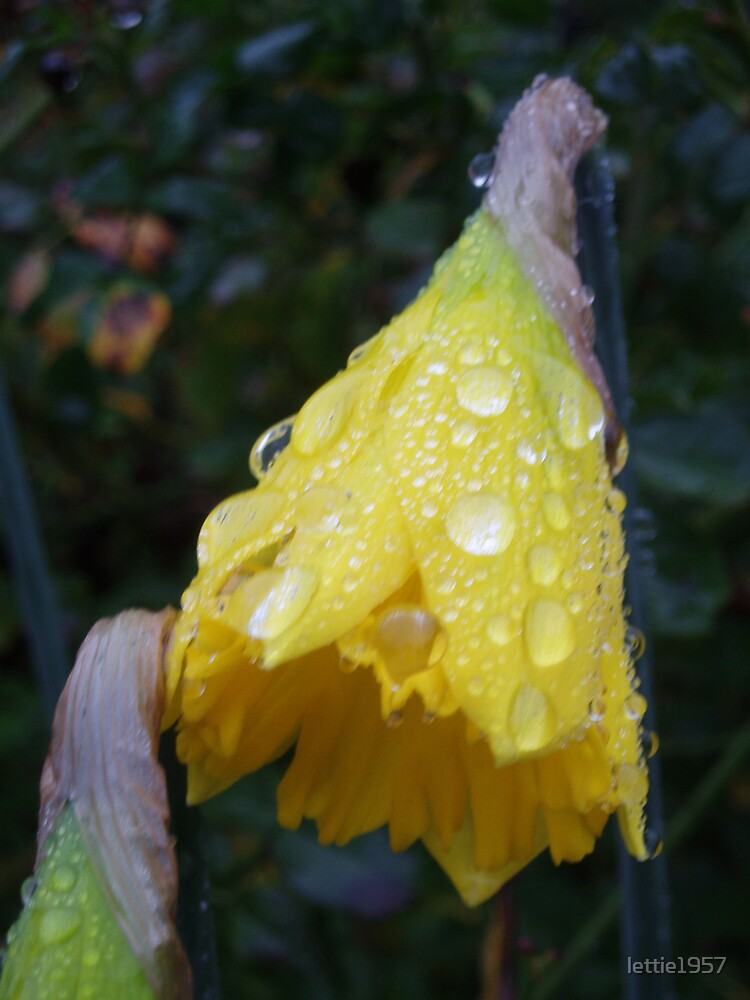 Raindrops on Daffodil  by lettie1957