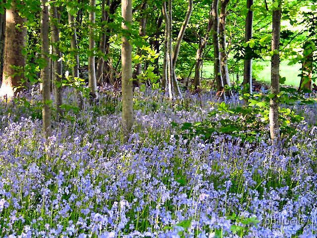 Bluebell wood by philwells