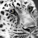 Jaguar Eyes by Jessica Peck
