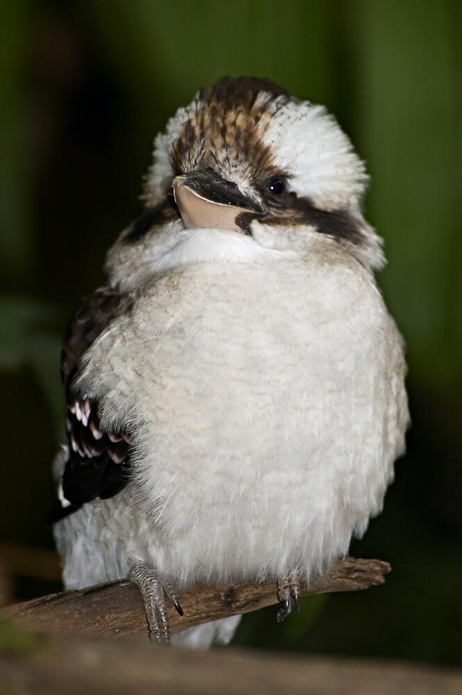 Kookaburra by Judy Harland
