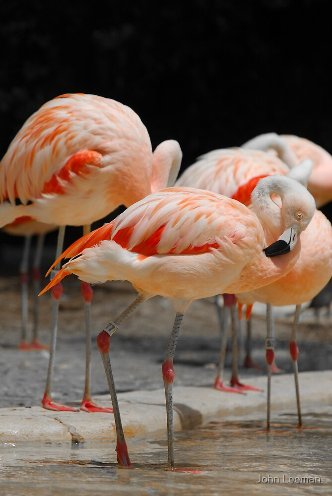 Flamingo by John Leeman