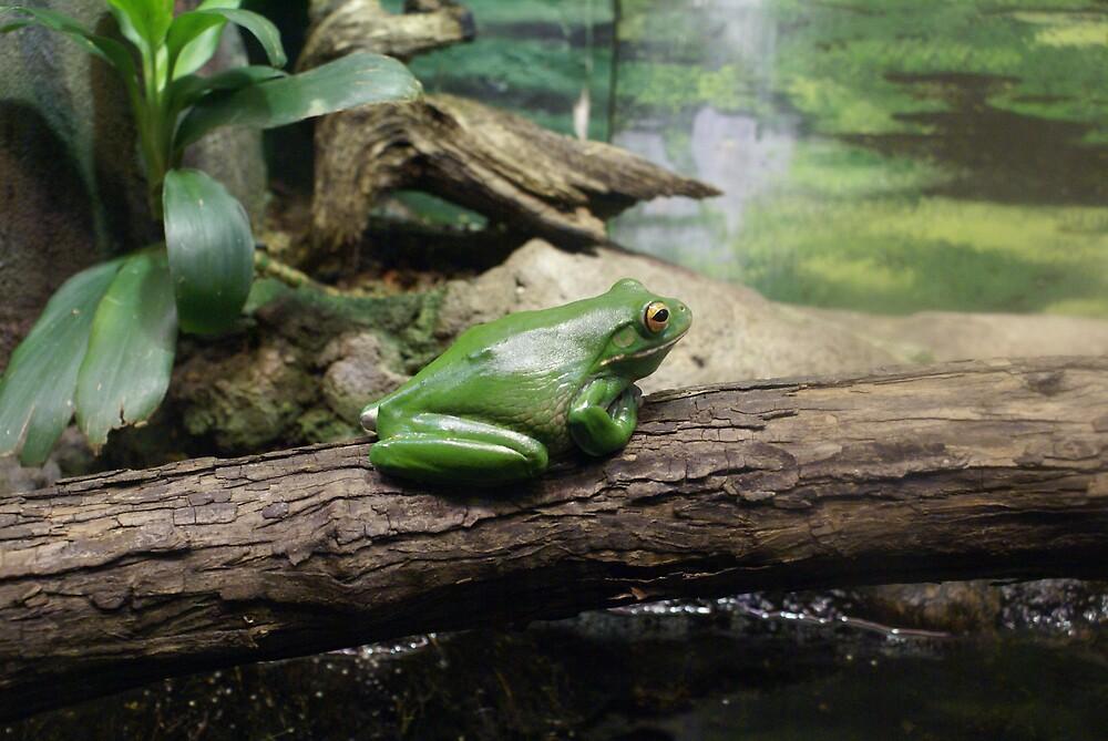 Green tree frog by simonsinclair