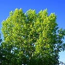 Green Tree by Danita Hickson