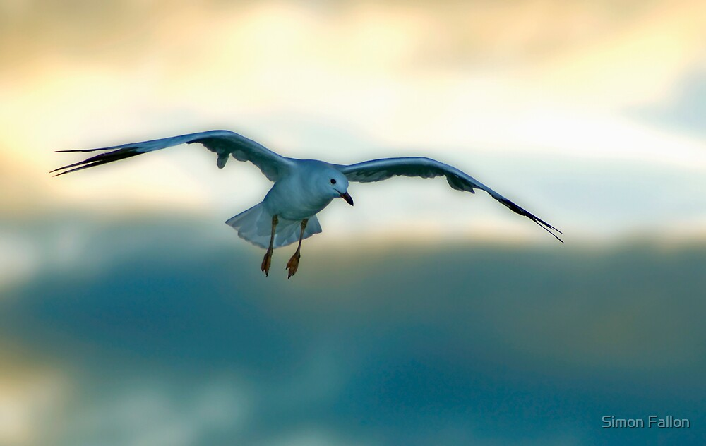 Gliding Gull by Simon Fallon