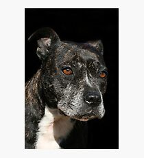 Staffordshire Bull Terrier Portrait Photographic Print