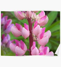 Pink Lupin Poster