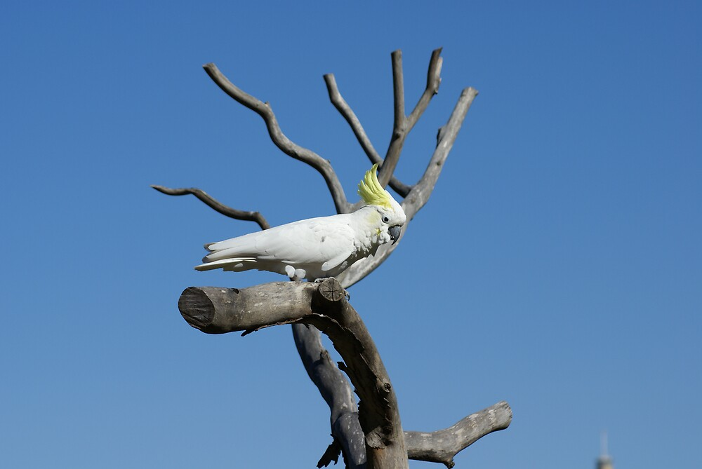 cockatoo by simonsinclair