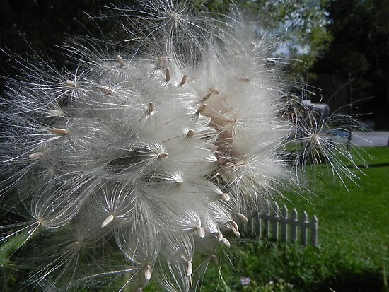 Thistle Seed by Martha Medford