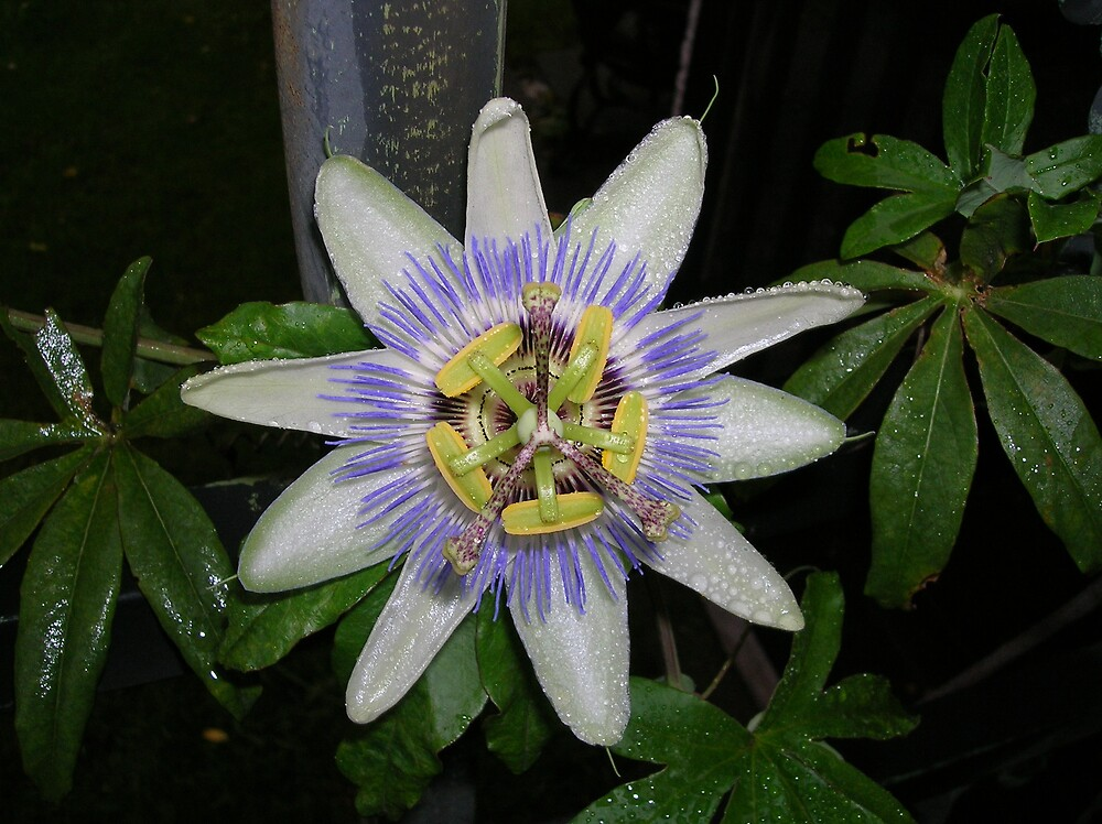 Passion Flower by Lynnhc