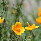 Mexican Poppies in the Desert by Kathleen Brant
