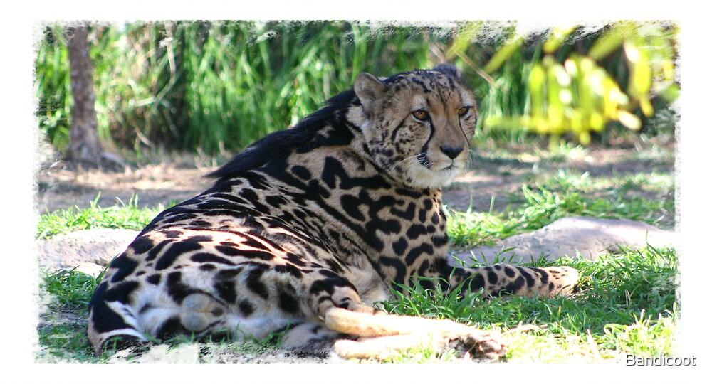 King Cheetah by Bandicoot
