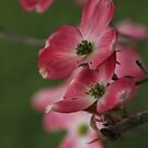 blooming dogwood by ANNABEL   S. ALENTON