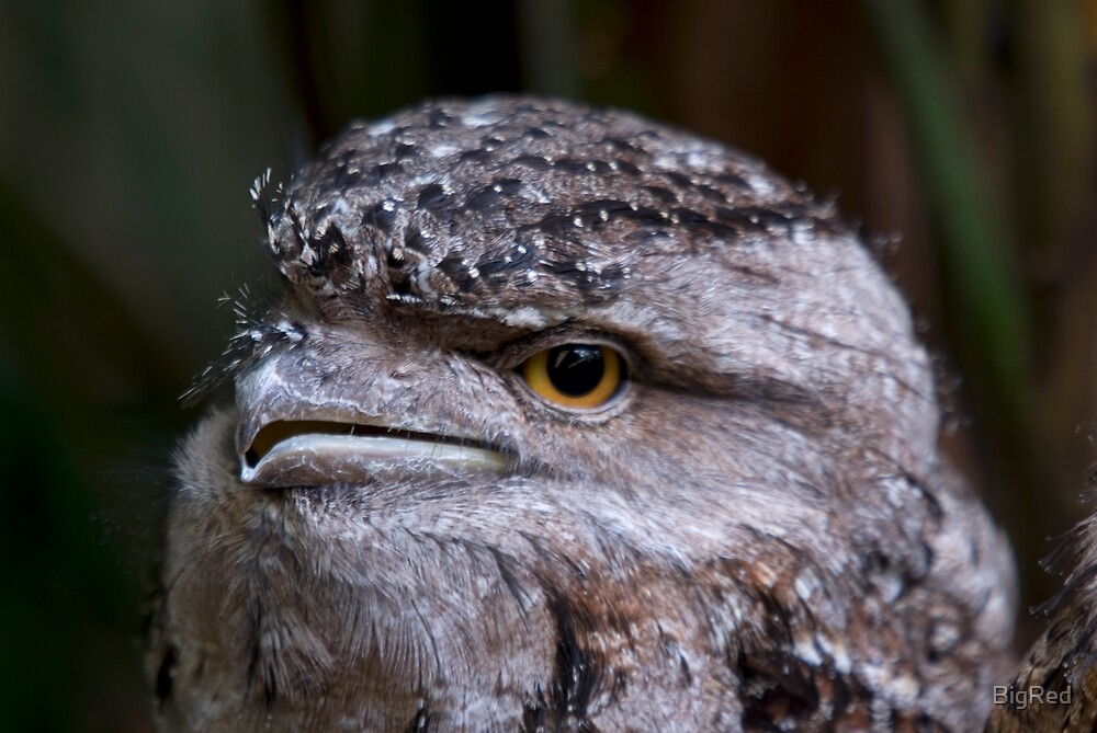 Tawney Frogmouth by BigRed