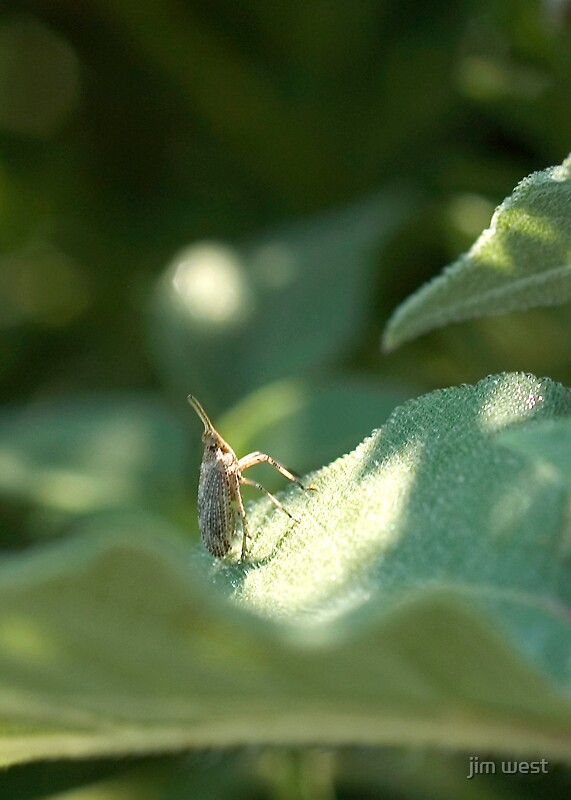Fulgorid leafhopper by jim west