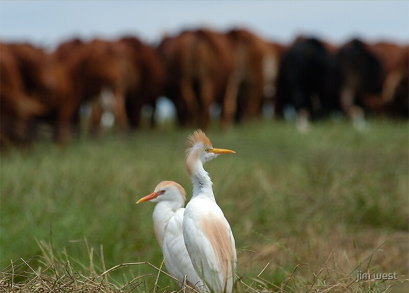 Let's jack somebody! When cattle egrets go bad. by jim west