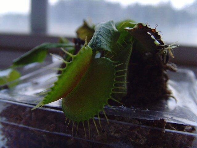 Venus Fly Trap by RachelLea