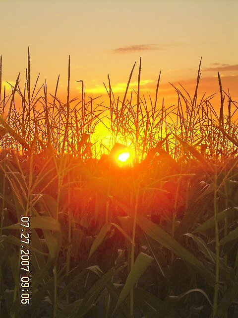 sunset in corn by Jaclyn Clemens