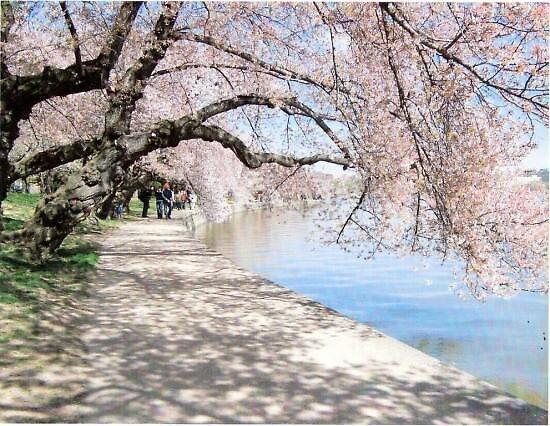 Tidal Basin Cherry Trees by Randyppdd