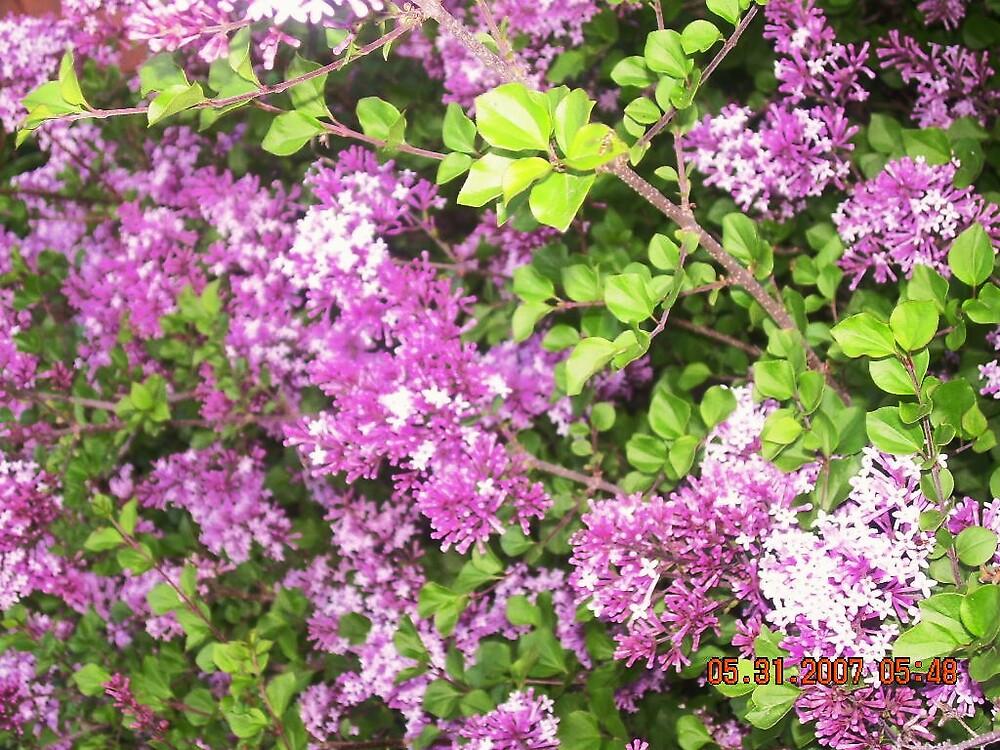 purple flowers by Jaclyn Clemens