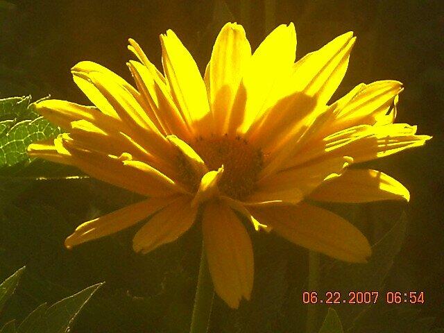 mini sunflower by Jaclyn Clemens