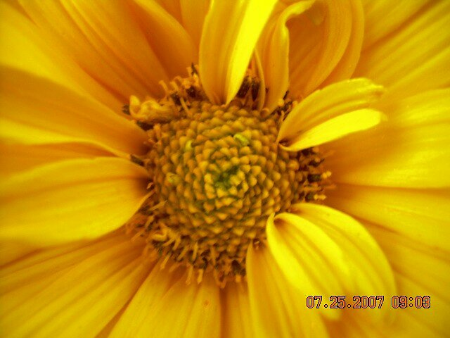 the beauty of the sunflower by Jaclyn Clemens