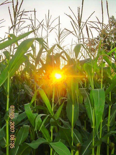 sun hiding in the corn  by Jaclyn Clemens