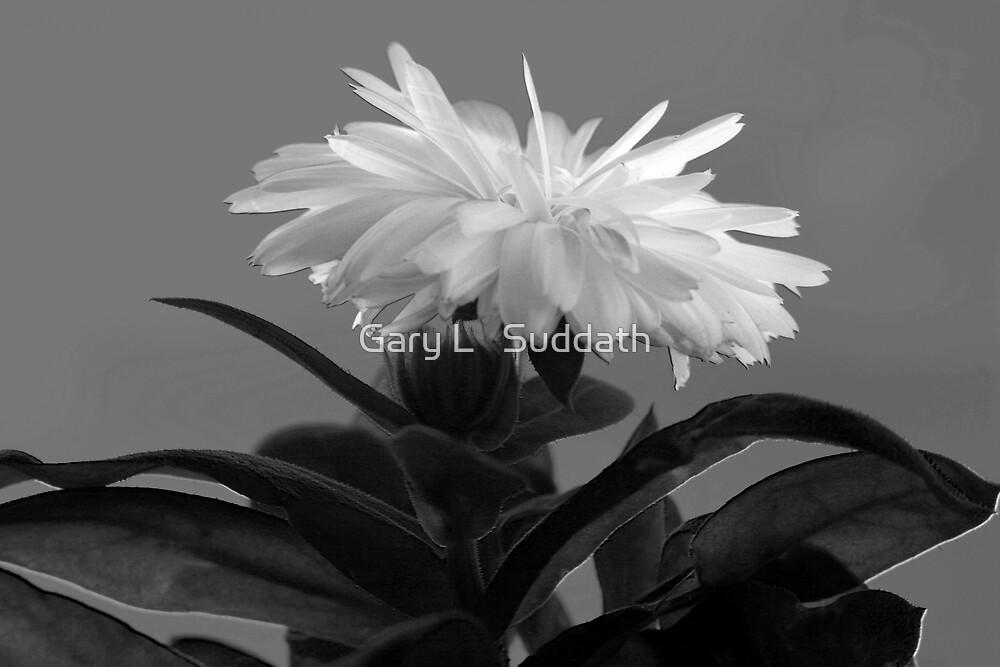 Chrysanthemum by Gary L   Suddath