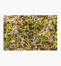 Macro of clover sprouts Photographic Print
