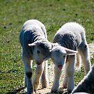 Lambs by jwb3