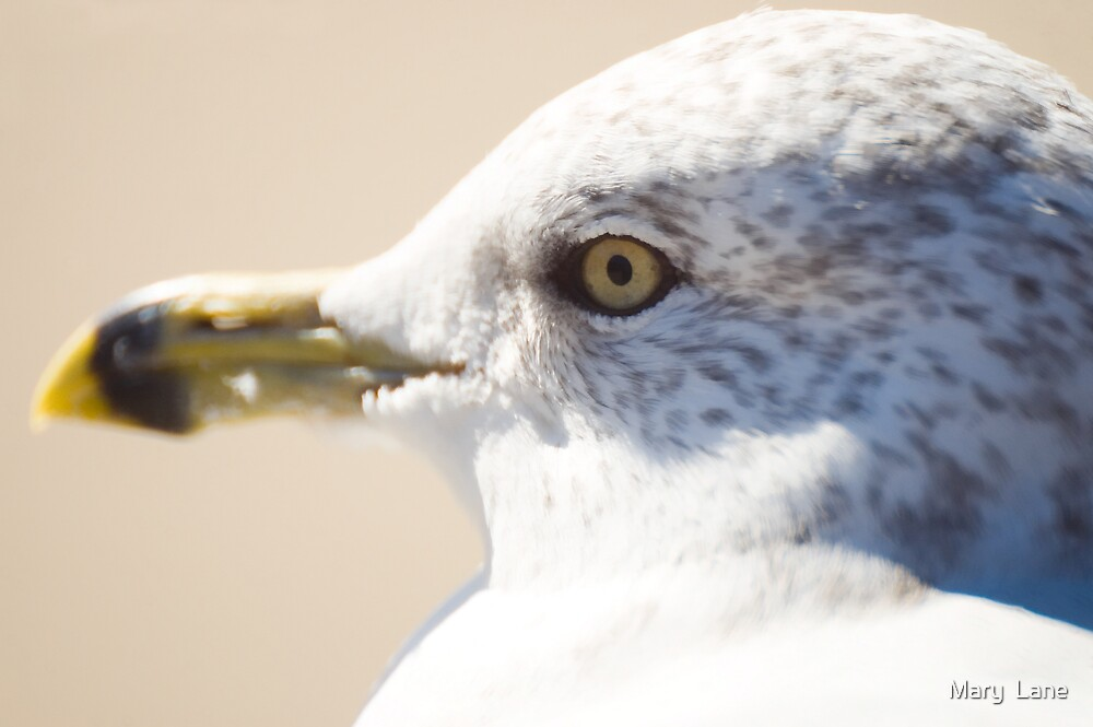 Young Gull by Mary  Lane