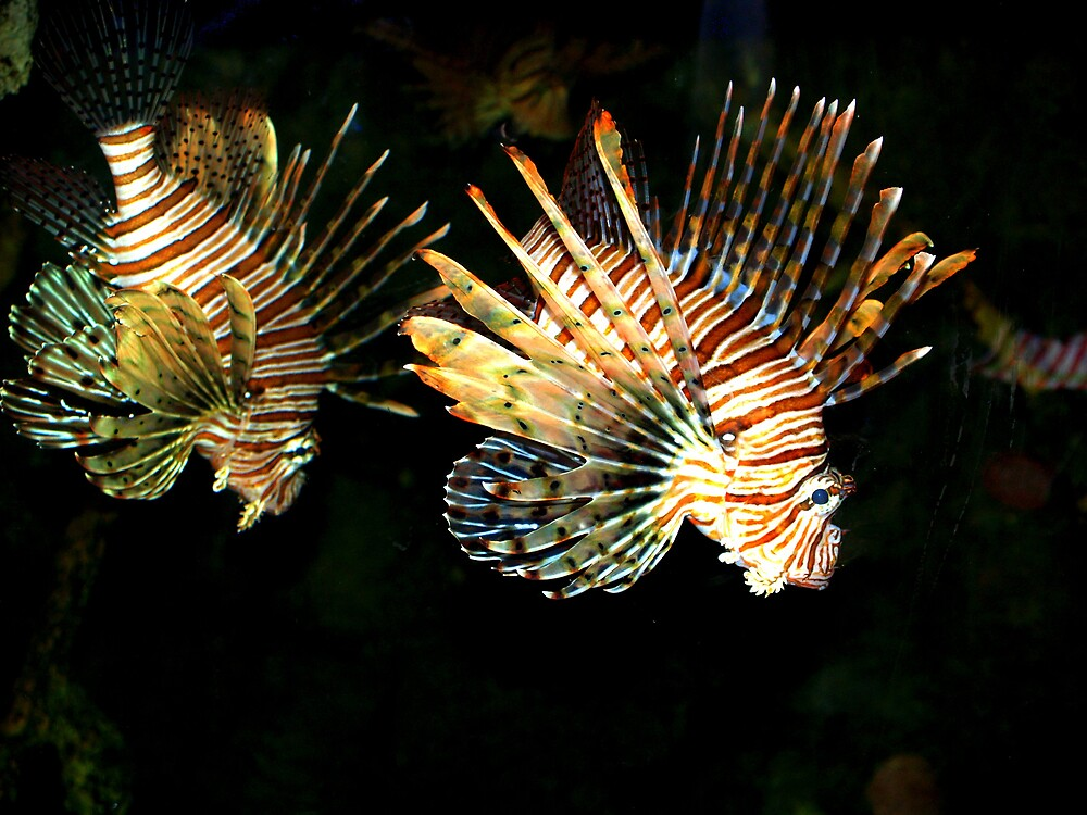 lionfish by lauren lederman