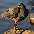 Moorhen by Debra LINKEVICS