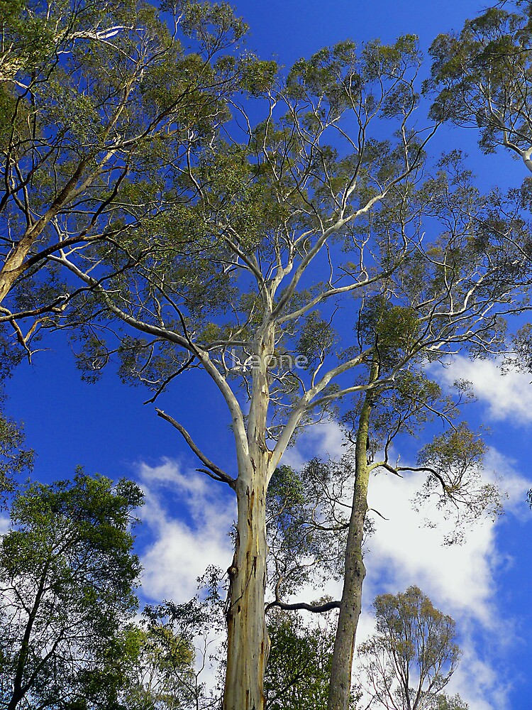 Gum Tree's and Blue Sky by fabreplus