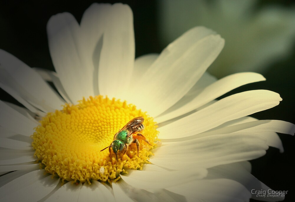 Daisy Bee by Craig Cooper