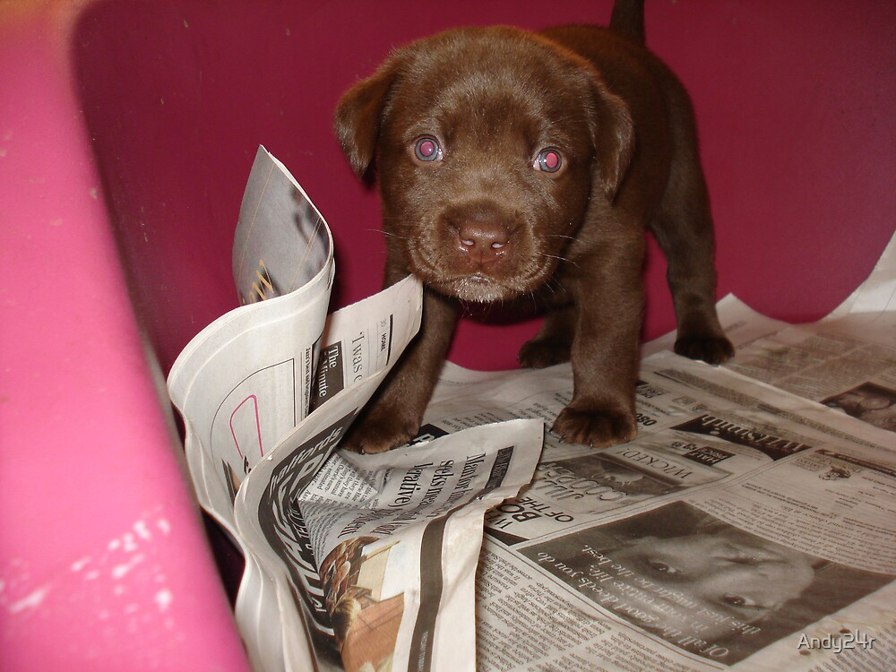 Chocolate lab' puppy by Andy24r