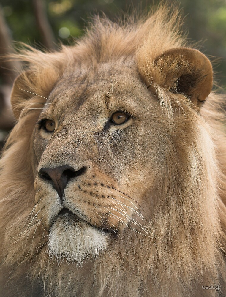 Lion by osdog