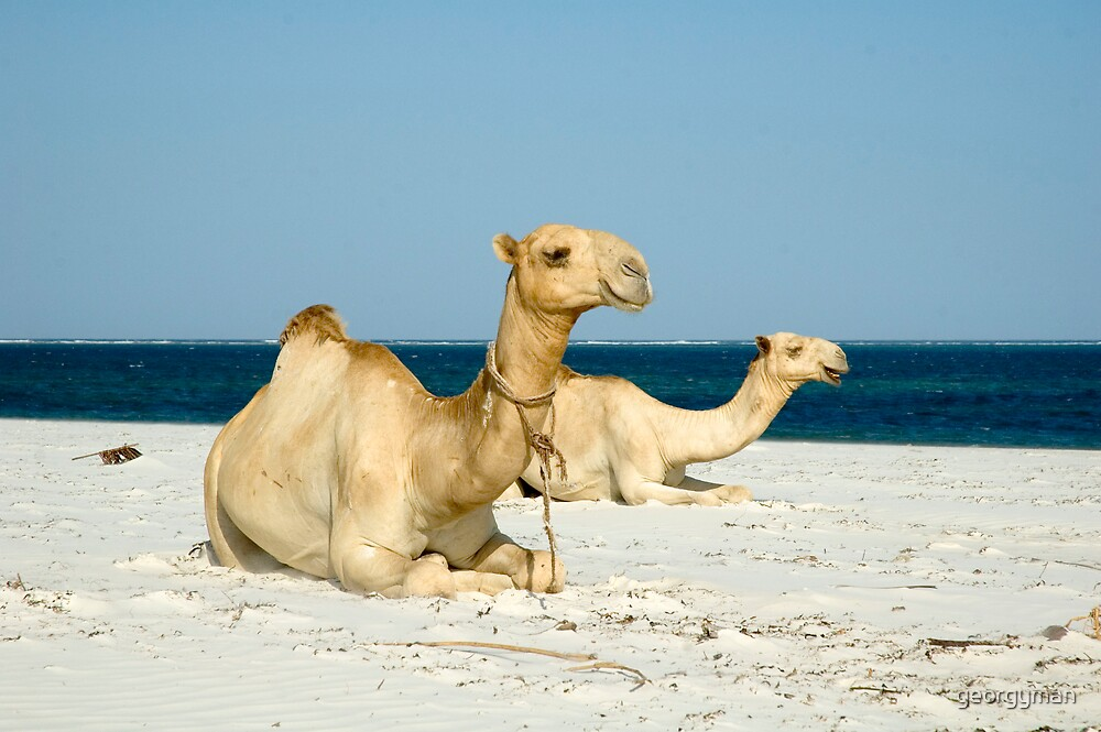 Camels on Mombasa beach by georgyman