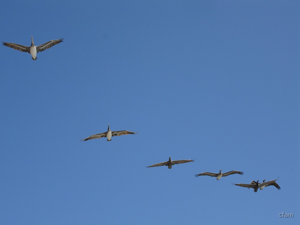 Pelicans in flight by cfam