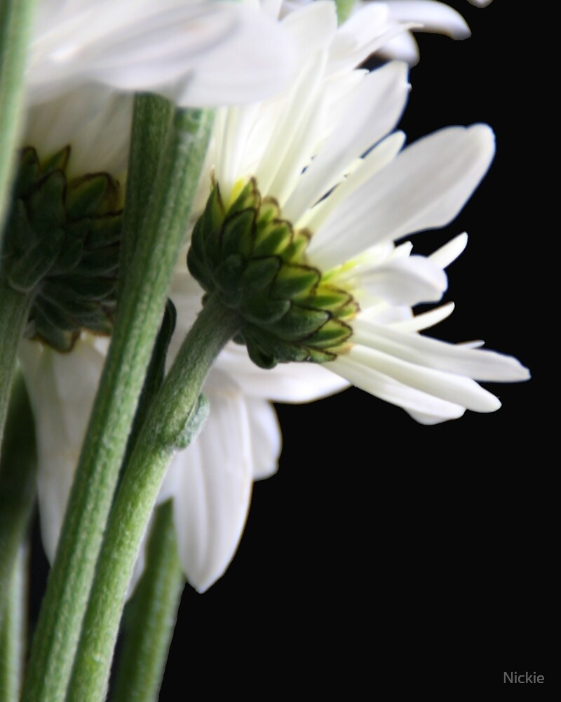 White Daisy Flowers by Nickie